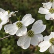 Dogwood Blooms — Stock Photo #22835472