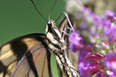 Butterfly Closeup — Foto Stock