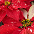 Red Poinsettias — Foto Stock