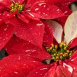 Red poinsettias — Lizenzfreies Foto