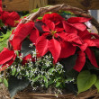 Red Poinsettias in a Basket — Foto Stock