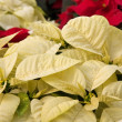 White Poinsettias — Stock Photo