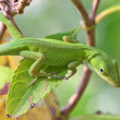 Anole Lizard — Stock Photo #22994902