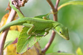 Lézard anolis — Photo