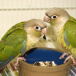 Green Cheek Conures — Stock Photo