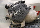Baby African Grey Parrot — Stock Photo