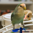 Lovebird — Stock Photo