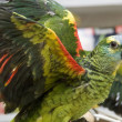 Stock Photo: Amazon Parrot