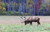Wapiti mâle bull — Photo