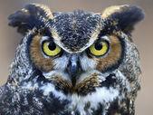 Great horned owl — Zdjęcie stockowe