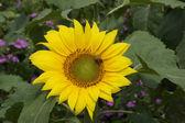Honey bee working on sunflower — Stock Photo