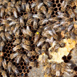Bees on honeycomb - Stockfoto