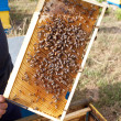 Bees on honeycomb - 图库照片