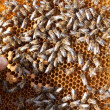 Bees on honeycomb - 