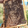 Bees on honeycomb - Photo