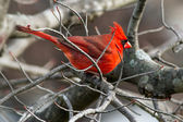 Cardinal Perches in Winter — Stock Photo