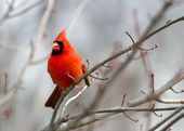 Cardinal in Tree — Foto Stock
