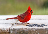 Cardinal and Sunflower Seeds — Foto Stock