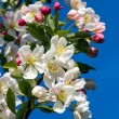 Stock Photo: Flowering Crab Apple LImb