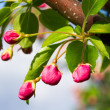 Stock Photo: Pink Crab Apple Blossoms