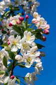 Flowering Crab Apple LImb — Stock Photo