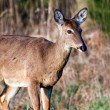 Deer in the Smoky Mountains - Stock Photo