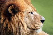 Male LIon Profile — Stock Photo
