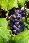 Purple Grapes on the Vine — Stock Photo