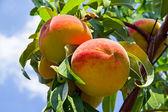 Peaches on the Tree — Stock Photo