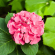 Big Pink Hydrangea — Stock Photo