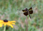 Perching Dragonfly — Stock Photo