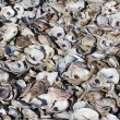Stock Photo: Oyster Shell Pile