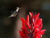 Hummingbird and Red Cana — Stock Photo