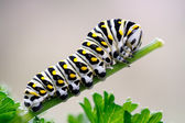 Black Swallowtail Caterpillar on Parsley — Stock Photo