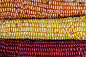Ears of Indian Maize — Stock Photo