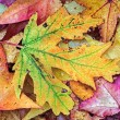 Intensely Colorful Fall Foliage — Stock Photo