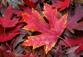 Maple Leaf on Forest Floor — Stock Photo