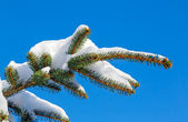Snowy PIne Bough — Stock Photo