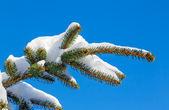 Snowy PIne Bough — Stock Photo