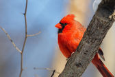 Male Cardinal in the Woods — Stock Photo