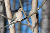 Mourning Dove in the Woods — Stock Photo