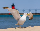 Flapping Gull and LIghthouse — Stock Photo