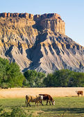 Badlands Cattle — Stock Photo