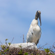 Wood Stork on the Nest — Stock Photo #44219071
