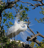 Great Egret Displays Plumage — Стоковое фото