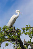 Great Egret Atop Tree — Stock Photo