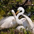 Egrets Build Nest — Stock Photo