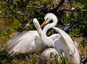 Egrets Build Nest — Stock Photo