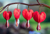 Red Bleeding Heart Flowers in a Row — Stock Photo