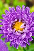 Purple Aster Flower — Stok fotoğraf